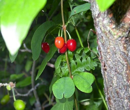 berryvines1